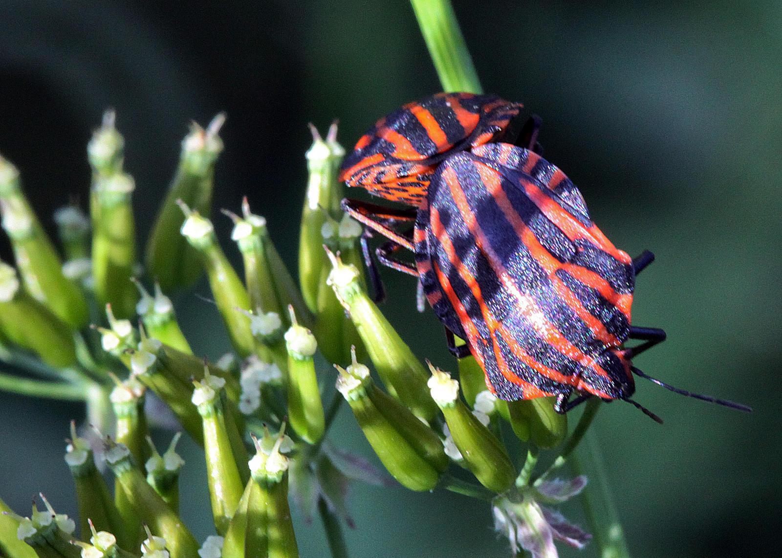 vabzdžių ant varpos 13 cm nario nuotrauka