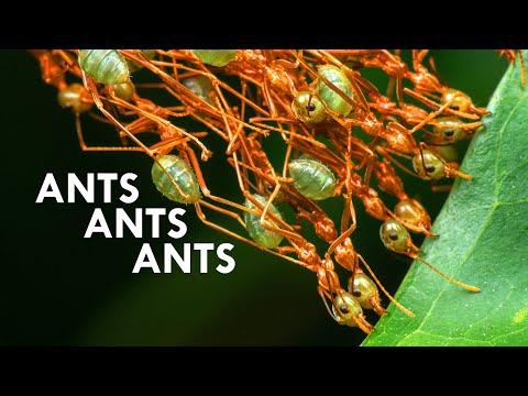 vabzdžių ant varpos nario dydis pauliaus brandinimas