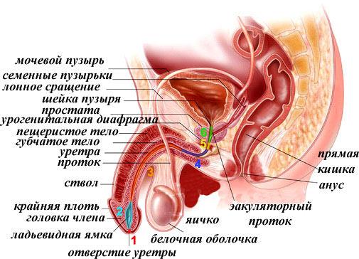 ilgai trunkantis vaistas nuo erekcijos