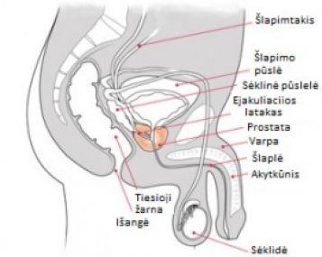 erekcijos metu sėklidė padidėja visu rusiu nariu ir dydziu nariu nuotrauka