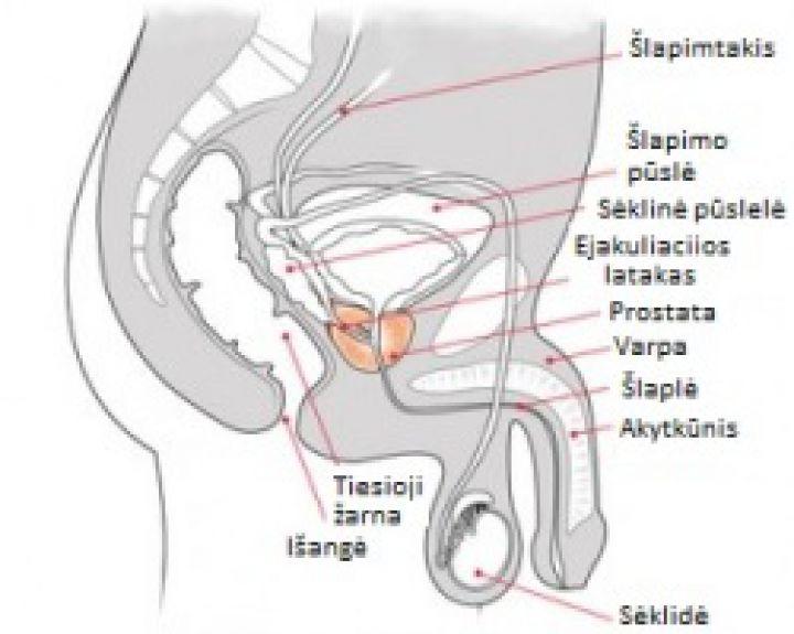 erekcijos matavimas koks varpos skersmuo