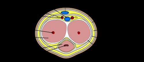 kas yra varpos tunica albuginea del kokiu funkciju galite nustatyti varpos dydi