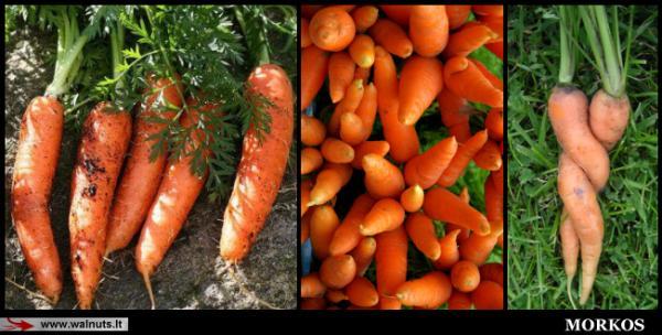 morkų ir varpos augimas mityba blogai erekcijai